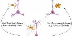 Diagram shows three versions of a neuron and dendrites with varying degrees of spine density. The three different diagrams represent a control male, control female, and an MDD male and female.